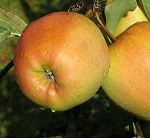 Pinkgold (Golden)